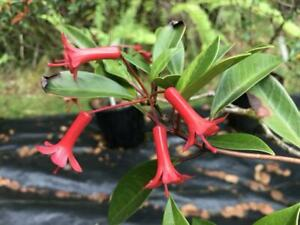 Rhododendron leptobrachion red tubular vireya epiphyte orchid VERY RARE species