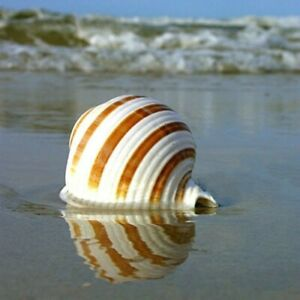 1X Natural Stripe Shell Conch Coral Sea Snail Home Ornament Fish Cave Tank Decor