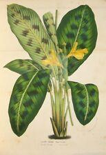 Stampa antica FIORI CALATHEA PARDINA Van Houtte 1850 Old antique print flowers