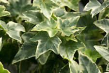 3 Hedera helix 'Goldchild' / Variegated English Ivy Plants In 9cm Pots