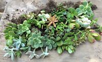Lot of 12 Fully Rooted Succulent Starter Plants, all different - Quick Ship