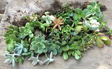 Lot of 10 Fully Rooted Succulent Starter Plants, all different - Quick Ship