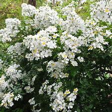 rare taiwan climbing rose --rosa pricei  -subtropical species very showy 1 plant