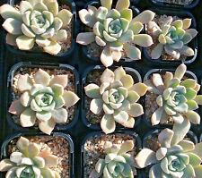 Echeveria acaulis in 65mm square pot  cacti and succulents