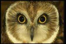 008139 Short Eared Owl A4 Photo Print