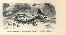 Stampa antica INSETTI Scolopendra lucasi INSECTA 1891 Old antique print