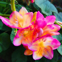 100 PCS Seeds Geranium Plants Bonsai Pelargonium Perennial Garden Flowers 2019 N