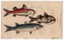 Mullet and Surmullet Fish Marine Ocean Fish 1813 Hand Colored Engraving