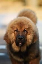 A Tibetan Mastiff Puppy Dog Journal : 150 Page Lined Notebook/Diary by C. S.