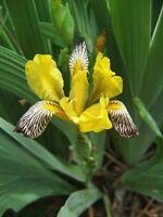 Details about  /Iris bracteata Siskiyou Iris 8 seeds