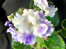 African Violet Leaves Amour Elite Standard 2 Leaves