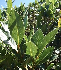 5 Sweet Laurel Bay Tree Plant Cuttings. Free US Shipping