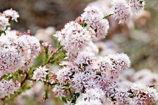Calytrix tetragona white form in 50mm forestry tube native plant
