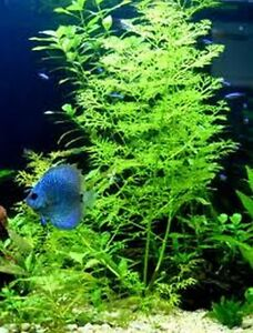Bunch Live Aquarium plant INDIAN FERN - tropical fish ceratopteris thallicroides