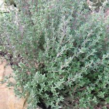 PRECOMPA Gewürz-Thymian Thymus vulg robustes Küchenkraut Heilpflanze Duftpflanze