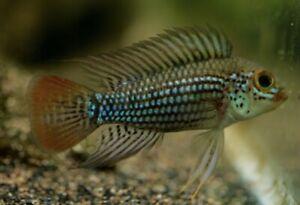 1 Pair Apistogramma Alto Tapiche Young Dwarf Cichlid Live Tropical Fish
