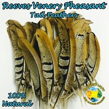 Feathers of Natural Reeves Venery Pheasant Tail Feathers - Pack of 5