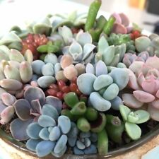 mini succulent collection x10 REAL plants fairy garden echeveria sedum Crassula
