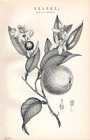 1880 Estampado ~Botany~ Sevilla Naranja ~ Fruta Hojas Flor Semilla