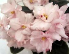 ~African Violet Live Baby Plant *Rob's Fuzzy Naval* Pink Semi-Miniature 🌿