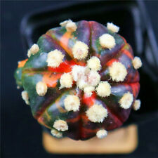 Astrophytum asterias variegate -with rootstock- rare cactus cacti 4541