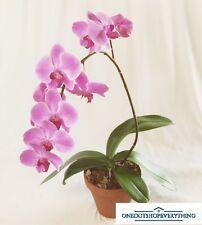 10 PZ RARO PINK Phalaenopsis orchidea BONSAI semi di fiori UK STOCK