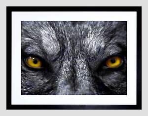 GREY WOLF EVIL EYES CLOSE UP BLACK FRAME FRAMED ART PRINT PICTURE MOUNT B12X8080