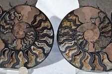 "RARE 1 in 100 BLACK Ammonite Pair Deep Crystals XXXLRG 7.5"" 110myo 192mm n26361"