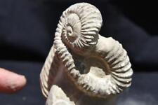 "544 RARE DOUBLE Heteromorph Nostoceras Ammonite Fossil 115mm 420gm XLG 4.5"""