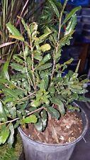 Ochna Serrulata Mickey Mouse - 1 Plants - 1 Feet Tall - Ship in 1 Gal Pot