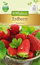 Erdbeere 'Sweetheart' - Fragaria x ananassa, Erdbeeren  ca. 50 Samen 4238