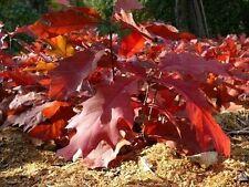 3 Red Oak Trees 2ft Tall 2L Pot Quercus Rubra Hedging Plant,Bright Autumn Colour