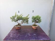 Bonsai Wacholder - Juniperus Chinensis Itoigawa