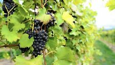 1 CHAMBOURCIN Wine Grape Vine Plant * 1-2 Year Organic Grown BLUE BLACK VARIETY