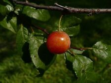 Flatwoods Plum   Prunus umbellata   10  Seeds   (Free US Shipping)