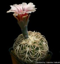 gymnocalycium spegazzinii v. punillense 20+ seeds rare cactus