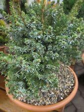 Picea omorika Nana - serbische Zwergfichte 30-40