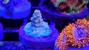 Live Coral Acro With Major Potential SPS Aquatic Bobs WYSIWYG