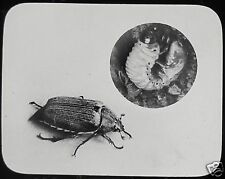 Glass Magic Lantern Slide COCKCHAFER AND GRUB C1910 INSECT NATURE PHOTO