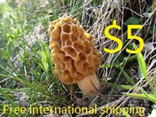 YELLOW MOREL Morchella esculenta mycelium plugs spawn 4 dowels $4.90