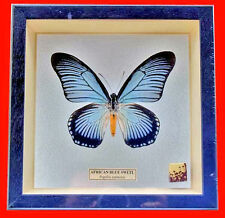 Butterfly Papilionidae - Framed Blue African Swallowtail - Papilio Zalmoxis (m)
