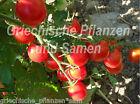 Koralik Tomate tomates Cherry variedad antigua 10 Semillas frescas Balcón Cubo