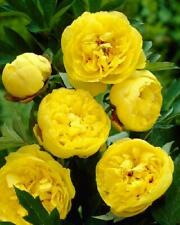 RARE PEONY PLANT ROOT YELLOW (NOT SEEDS) WITH 2-3 EYES!
