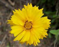 50 Semillas de Bigflower Coreopsis  (Coreopsis Grandiflora Hogg)
