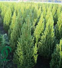 Zuckerhutfichte, 10 x Picea glauca Conica 60-80 cm Höhe inkl. Versand 225,- €