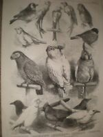 Prize Birds at the Crystal Palace Show 1865 print ref T