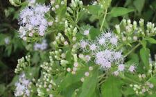 50 seeds Bitter bush, Siam weed Chromolaena odorata Thailand herbs