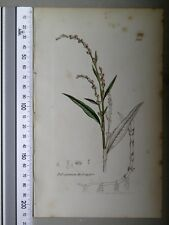 English Botany, Smith, Sowerby, handcoloured copperplate, 569, 3.Edition,1850.