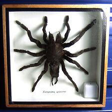 EURYPEIMA SPINICRUS Tarantula Display Real Insect Bug Taxidermy Framed Box gphsy