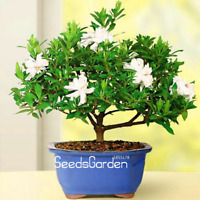Gardenia Plants 100 Pcs Seeds Cape Jasmine DIY Home Garden Potted Bonsai Flowers